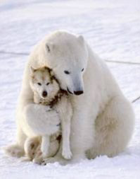 Image of a Polar Bear hugging a Wolf