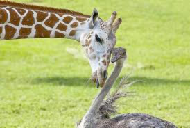 Image of a Giraffe and Ostrich