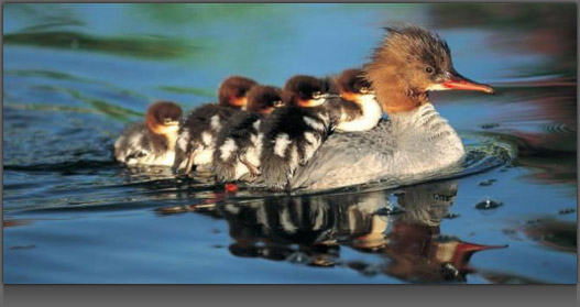 Image of many Baby Ducks riding on their Mom's back